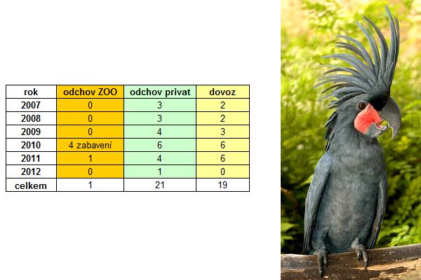Kakadu palmový