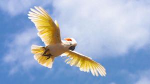 Kakadu molucký