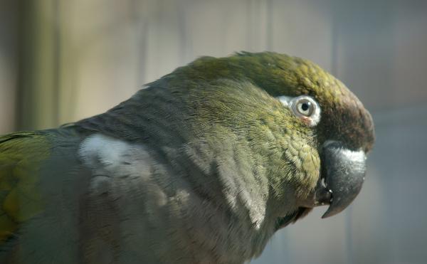Papoušek patagonský patří ke středně velkým jihoamerickým druhům ptáků, na které lze narazit i na úbočí pohoří And (Foto: Wikipedia.com)