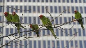 Invazní papoušci