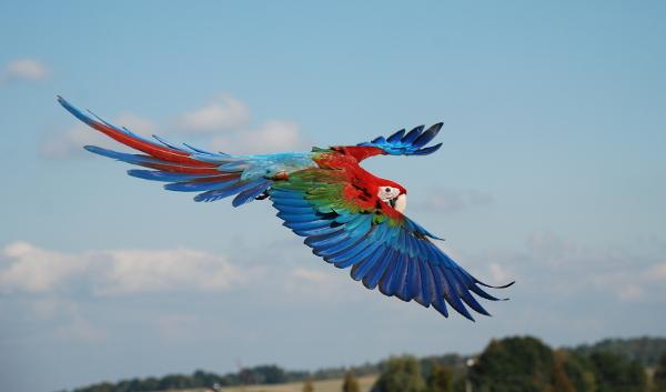 Volný let ary zelenokřídlého (Foto: archiv Přemka Johna)