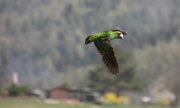 Africké druhy papoušků nejsou příliš vhodné pro výcvik volného letu, Přemku Johnovi se přesto podařilo vycvičit papouška konžského (Foto: archiv Přemka Johna)