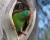Nedostatek samic u kriticky ohrožených latamů vlaštovčích vede k polygamii, mláďata mají více otců