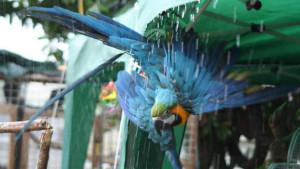 Ara ararauna se sprchuje