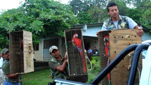 Návrat arů arakang do přírody Veracruzu