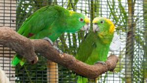 Amazoňan žlutokrký karibský