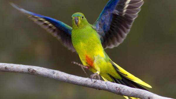 """Zoo Adelaide chce """"ošálit"""" neofémy oranžovobřiché. Prodlouží jim den a čeká celoroční hnízdění"""