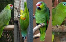 Nově uznávané druhy amazoňanů: ekvádorský, čelenkový, orinocký a karibský