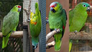 Nové druhy amazoňanů