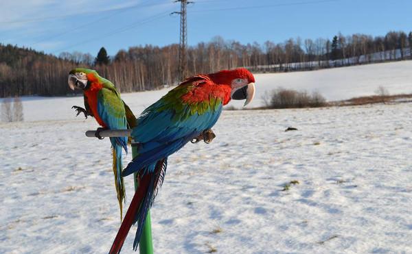 Zimní létání papoušků ve Faunaparku Lipová-lázně (Foto: archiv Petra Augustýna)