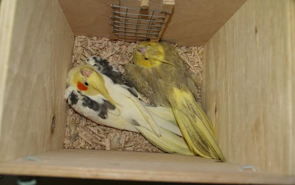Pohled do hnízdní budky, vpravo je pták málo chované žlutolící skořicové mutace (Foto: Jan Sojka, Nová Exota)