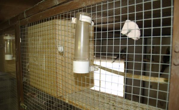 Korelám je voda podávána v napáječkách, aby si zvykly na běžný způsob napájení v bodovacích klecích na výstavách (Foto: Jan Sojka, Nová Exota)