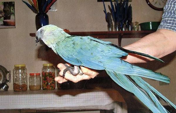 Naprosto raritní domácí mazlíček Presley, sameček ary škraboškového, ještě u původního majitele v americkém Coloradu (Foto: Funtimebirdy. wordpress.com)