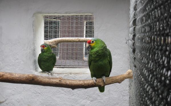 Skuteční rodiče mláděte amazoňana žlutolícího, jejichž mládě odchovali amazónci běločelí