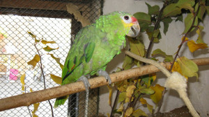 Amazoňan žlutolící