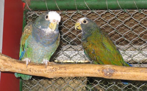 Pěstounský pár amazónků běločelých