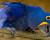 Pašerácká cesta vajec arů hyacintových z Brazílie do Evropy: National Geographic popsal, jak to funguje