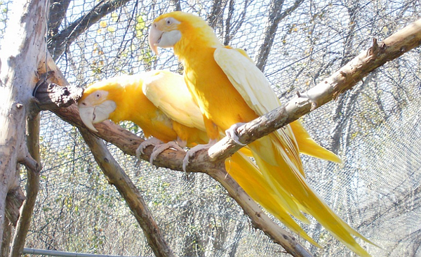 Mutaci lutino se podařilo v roce 2002 odchovat Garymu Reddenovi ve Spojených státech. Další dva ptáci jsou u australských chovatelů. (Foto: Gary Redden/www.goldenmacaw.net)