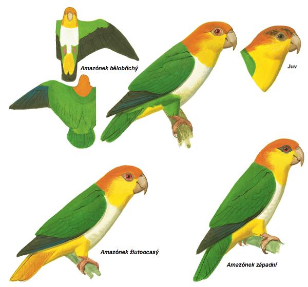Nové druhy amazónků, které byly dříve považovány za poddruhy amazónka bělobřichého (Zdroj: Pricentonská univerzita)