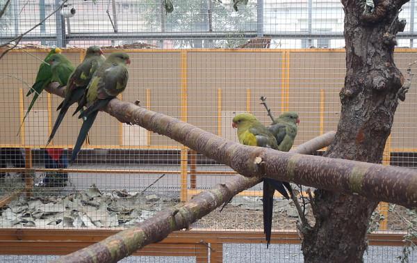 Papoušci kouřoví na výstavě obývají společnou voliéru s papoušky nádhernými (Foto: Jan Potůček, Ararauna.cz)