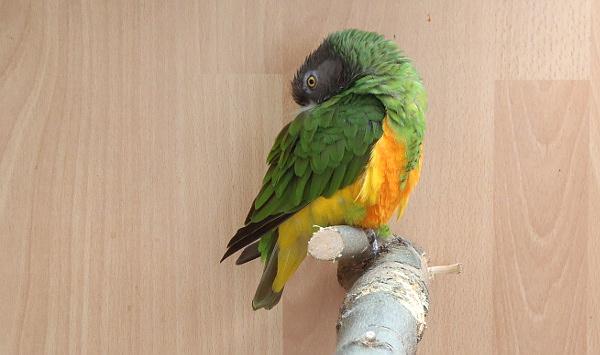 Největším africkým papouškem na výstavě je papoušek senegalský (Foto: Jan Potůček, Ararauna.cz)
