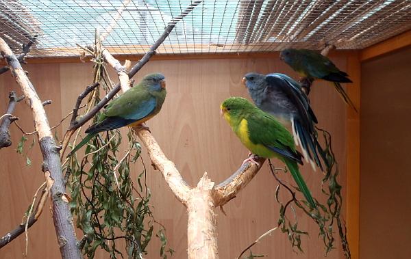 Aymara citrónový (zelený papoušek vpravo dole) obývá výstavní voliéru s neofémami modrohlavnými (Foto: Jan Potůček, Ararauna.cz)