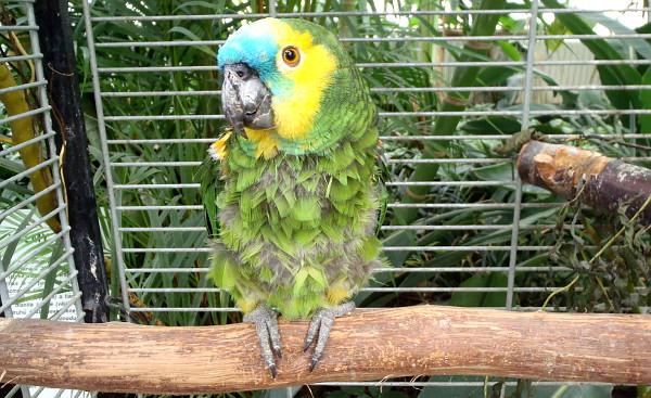 Handicupované papoušky na výstavě zastupoval i tento amazoňan modročelý (Foto: Jan Potůček, Ararauna.cz)