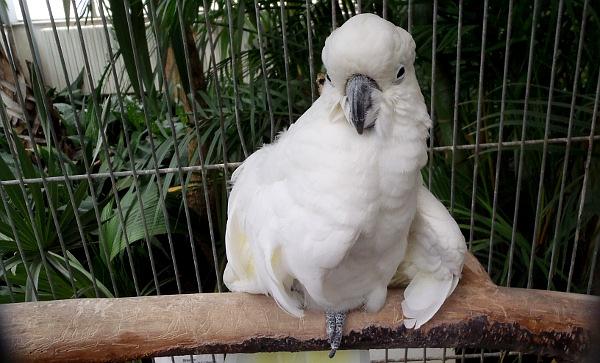 Dalším postiženým papouškem, o kterého pečuje Magdalena Žohová, je kakadu žlutočečelatý (Foto: Jan Potůček, Ararauna.cz)