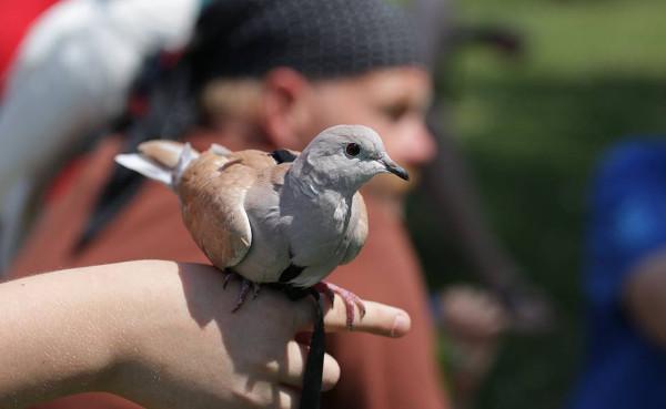 Netradiční účastník srazu volně létajících papoušků: hrdlička chechtavá na kšírách (Foto: Bohdana Crhonková)