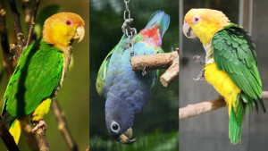 Nové druhy amazónků