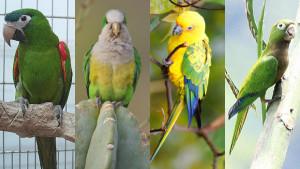 Nové druhy jihoamerických papoušků