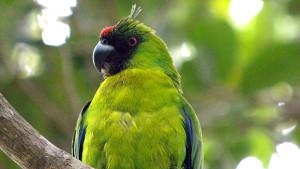 Papoušek ostrovní