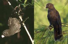 Papoušci rodu Vaza už nejsou jen dva, přibyli k nim ještě vaza seychelský a vaza komorský