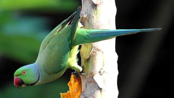 Vesničané v Indii zachraňovali stovky papoušků uvězněné v listoví spadlého stromu