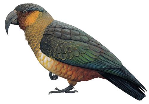 Rovněž vyhubený nestor úzkozobý, který žil do poloviny 19. století na ostrově Norfolk a Philipově ostrově (Obrázek: Avibirds.com)