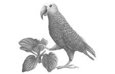 Vědci objevili čtvrtý druh nestora, který obýval Chathamovy ostrovy. Vyhynul v 19. století