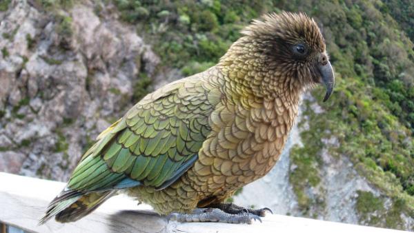 Exota Olomouc letos vystaví nestory kea, nejinteligentnější papoušky světa