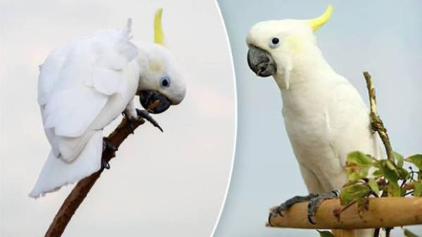 Na Teplicku už třetí týden hledají ulétlého kakadua žlutočečelatého. Neviděli jste ho?