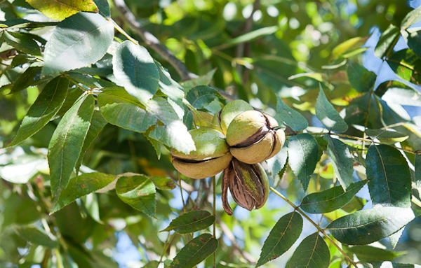 Ořechovec pekanový (Carya illinoinensis) pochází původem z Mexika a jihu Spojených států (Foto: Southernlawntexas.com)