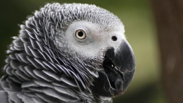 Registrace CITES pro papoušky žako se posouvají, začnou patrně až začátkem února 2017