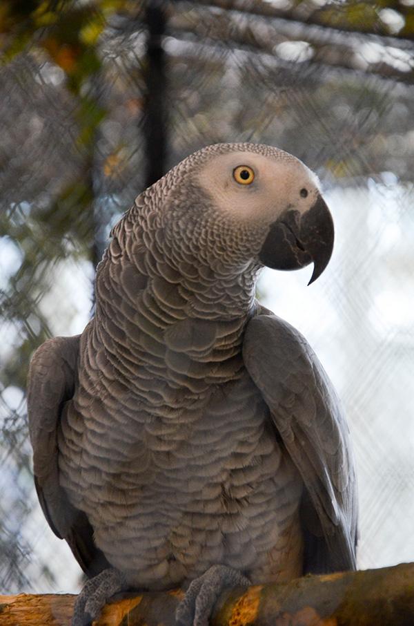 Na Exotě Olomouc nechybí ani oblíbení papoušci žako (Foto: Radomír Veselý, Nová Exota)