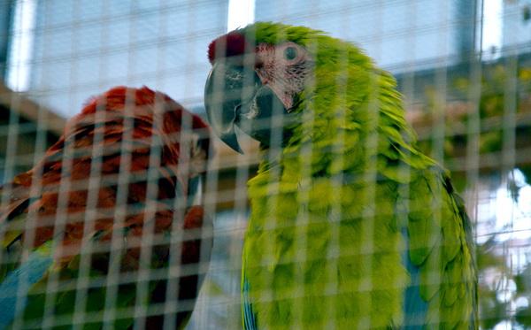 Ara zelený je v České republice na výstavě exotického ptactva vůbec poprvé (Foto: Radomír Veselý, Nová Exota)