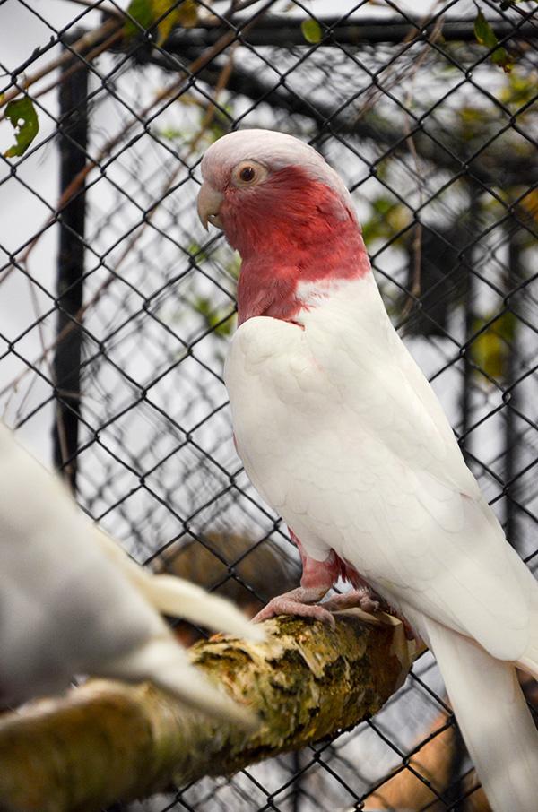 Kakadu růžový mutace lutino (Foto: Radomír Veselý, Nová Exota)