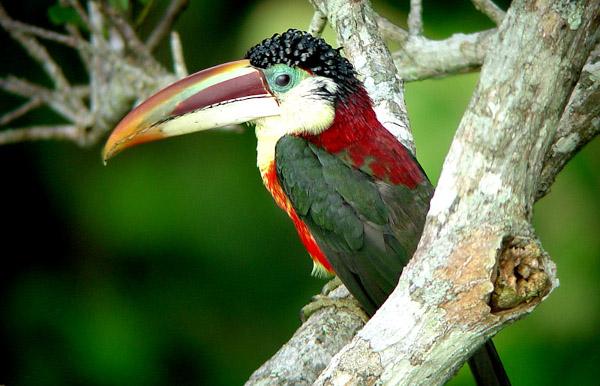 Z osmi druhů arassariů, malých tukanů, bude na Exotě nejvzácnější arassari řasnatý (Foto: Travelwithapurpose.wordpress.com)