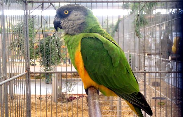 Nejznámnějším druhem afrického rodu papoušků Poicephalus na Exotice 2014 je papoušek senegalský (Foto: Jan Potůček, Ararauna.cz)