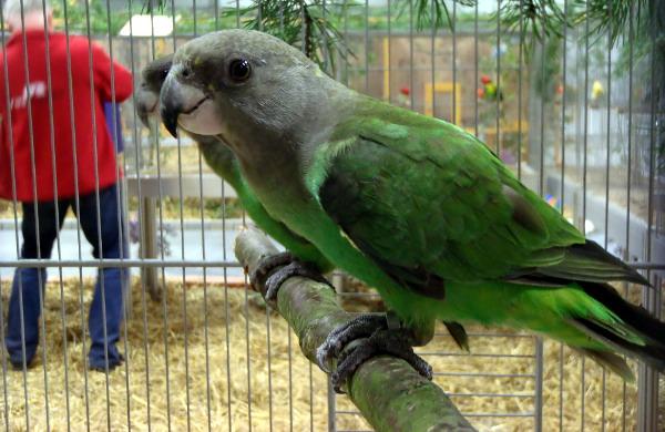 Papouška hnědohlavého vystavovala Exotika v Lysé nad Labem již loni (Foto: Jan Potůček, Ararauna.cz)