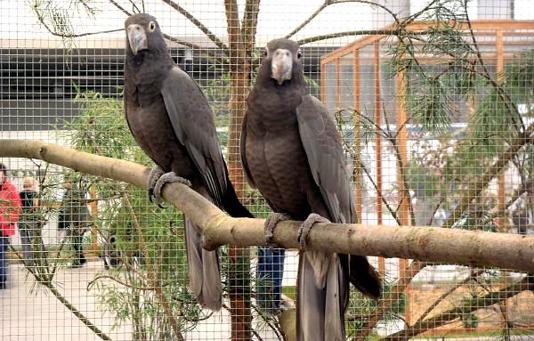 Vazové velcí, zástupci madagaskarských druhů papoušků (Foto: Jan Potůček, Ararauna.cz)