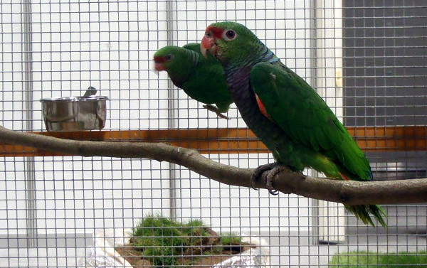 Amazoňany letos na Exotice zastupuje jediný druh: amazoňan vínorudý (Foto: Jan Potůček, Ararauna.cz)
