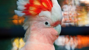 A more colorful cockatoo - I love these wonderful birds.