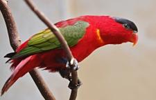 Loriové rodu Lorius: ukřičení, nenažraní, ale také velmi odolní papoušci